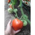 Възвръщане на Българският вкус домати - домат Момини сълзи