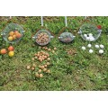Уред (Рол-блитц) за събиране на плодове с размер от 20 мм до 50 мм в диаметър