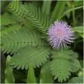 Семена за Срамежлива Мимоза