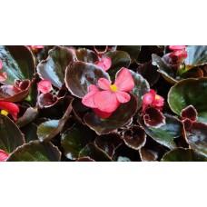 Бегония с кафяви листа в саксия - различни цветове