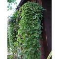 Разсад Глехома вариагата (Glechoma hederacea variegata)