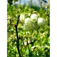 Вечнозелена Боровинка - Vaccinium Corymbosum Sunshine Blue