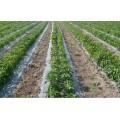 Перфорирано Фолио за предпазване (мулчиране) на почвата с сребърно-черен филм 1.2х5м.